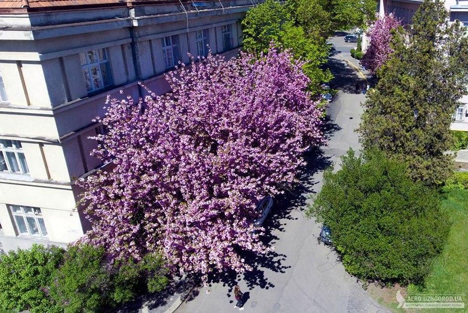 Селфі-зона: 3 місця на Закарпатті, де ростуть найкрасивіші сакури (ФОТО)