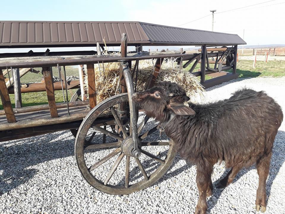 Буйволи на Виноградівщині: Тварини, які приваблюють купу туристів (ФОТО)