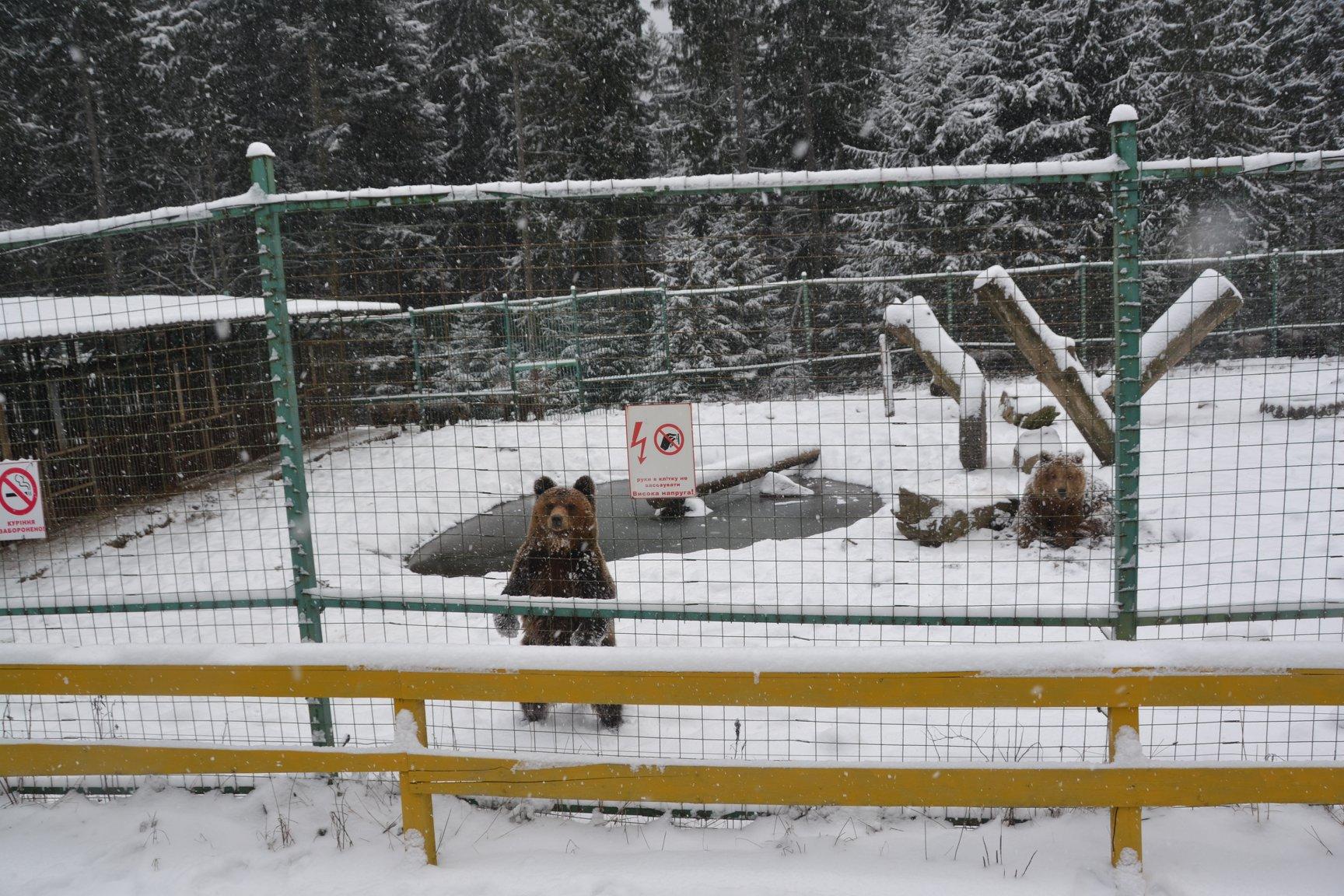 Ведмеді не можуть заснути у Національному природному парку