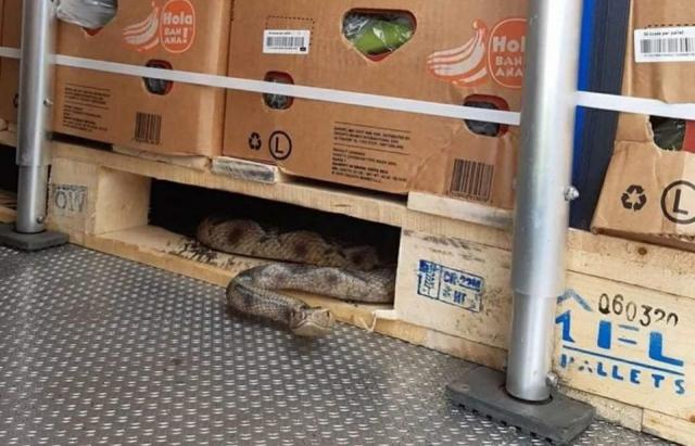 Закарпатець у своїй вантажівці виявив велику змію (ФОТО)