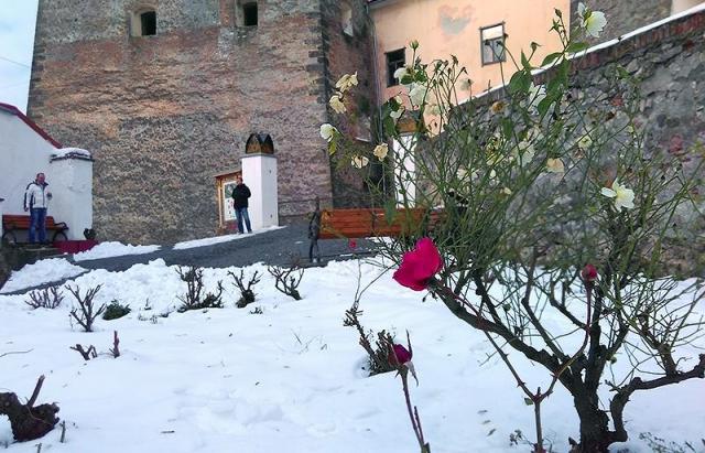 Фотофакт! На Закарпатті посеред зими зацвіли троянди