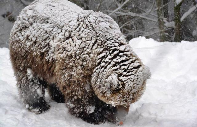 """Ведмеді реабілітаційного центру""""Синевир"""" не можуть впасти в зимову сплячку"""