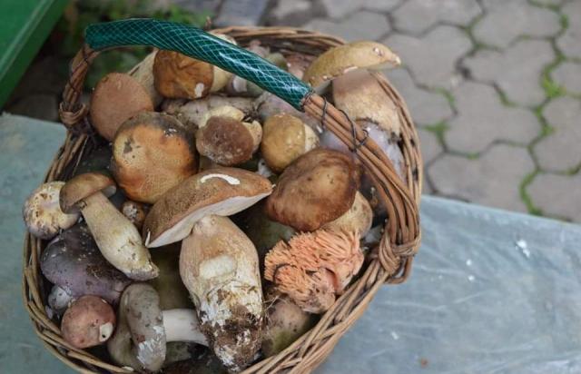 Закарпатці продовжують збирати білі гриби у лісах (ФОТО)