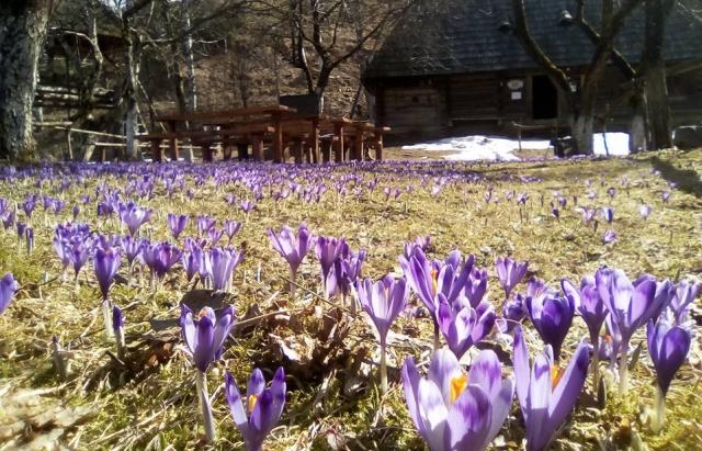 Весняне диво: у Колочаві рясно заквітли шафрани (ФОТОФАКТ)