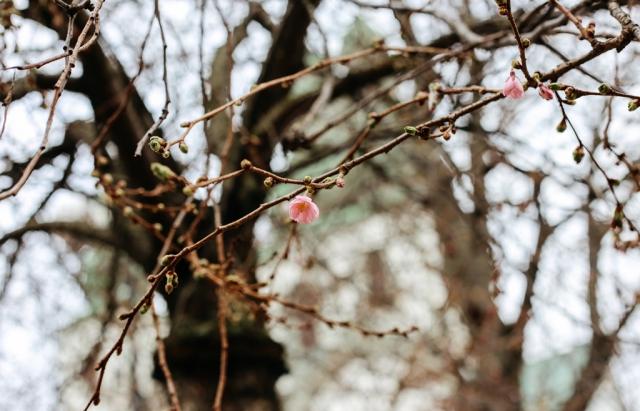 цвіт сакури фото