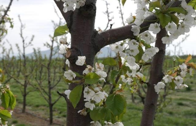 Експерти: Сьогодні найприбутковіший бізнес на Закарпатті – це садівництво