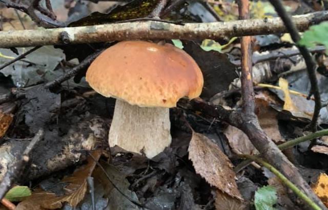 Сезон розпочато: Закарпатці активно збирають гриби по всій області (ФОТО)
