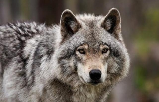 За сезон вовки на Рахівщині можуть вбити більше лісових тварин, ніж мисливці за 5 років