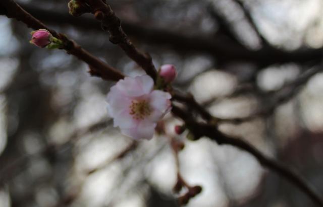"""Фотофакт: У Мукачеві досі квітне """"шалена"""" сакура (ФОТО)"""