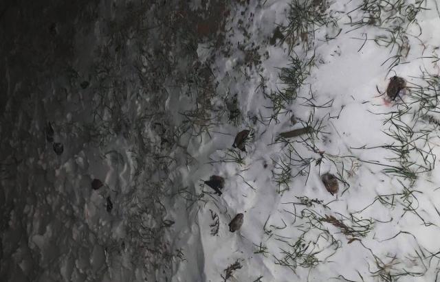 Сотні мертвих вечірниць: українців просять не викидати кажанів на мороз (ФОТО)