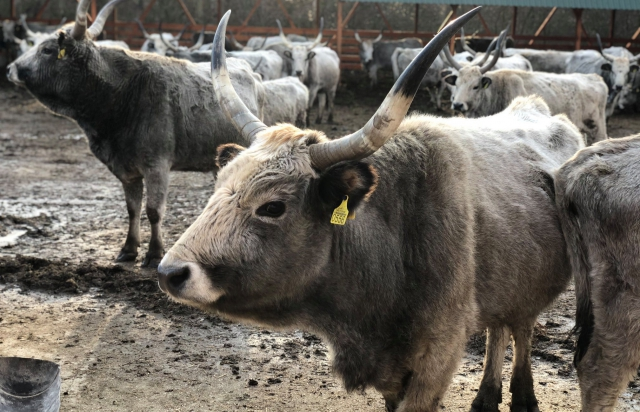 На Закарпатті живуть унікальні угорські сірі корови (ФОТО)
