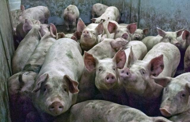 Африканська чума свиней: у Закарпатській ОДА обіцяють повернути гроші за знищених свиней