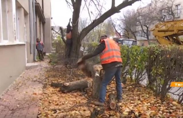 Унікальна алея сакур в Ужгороді під загрозою зникнення (ВІДЕО)