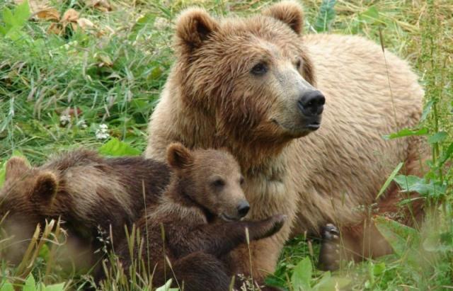 Щороку у Карпатах вбивають 15 бурих ведмедів, яких всього є близько 200