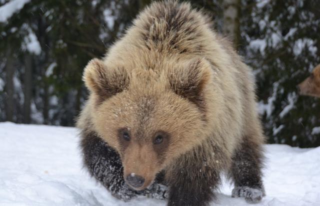 Ведмеді реабілітаційного центру на Синевирі граються і досі не сплять