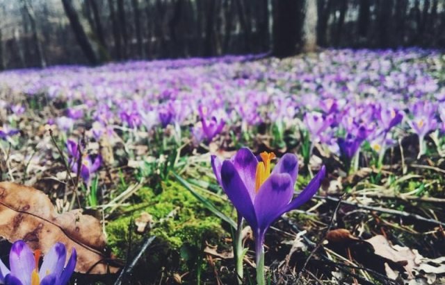 Квіткове диво: На Мукачівщині зацвіли шафрани (ФОТО)