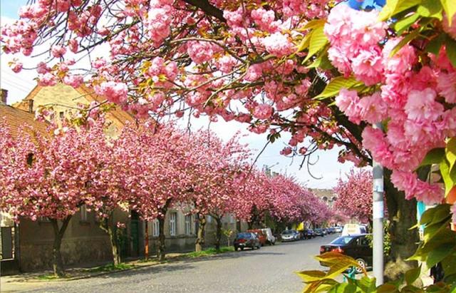 Сакуровий туризм: ТОП місць на Закарпатті де найкраще цвітуть сакури (ФОТО)