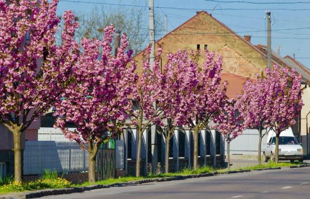 На Закарпатті розквітла найдовша алея сакури в Україні (ФОТО)