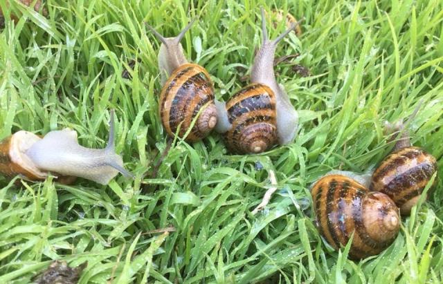 На Закарпатті зібрали перший врожай равликової ікри (ФОТО)