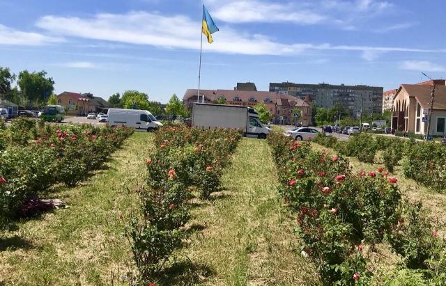 У Мукачеві вже розцвіла алея троянд (ФОТОФАКТ)