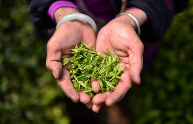 На Синевирі вирощуватимуть лікарські еко-чаї