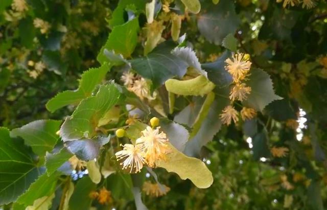 Чудова аромофітотерапія. В Ужгороді цвіте найдовша липова алея в Європі