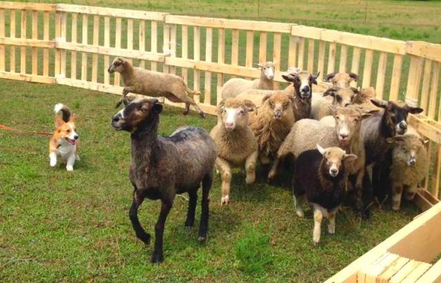 Під Мукачевом тестують собак на вміння керувати стадом овець