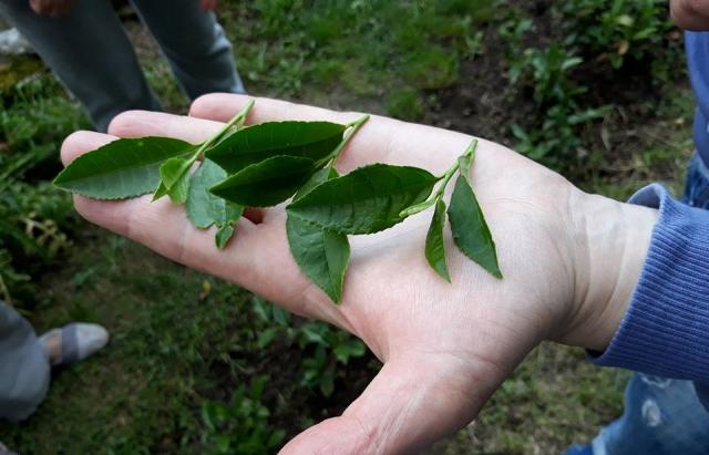 У Мукачеві вирощують закарпатський фермерський чай (ФОТО)