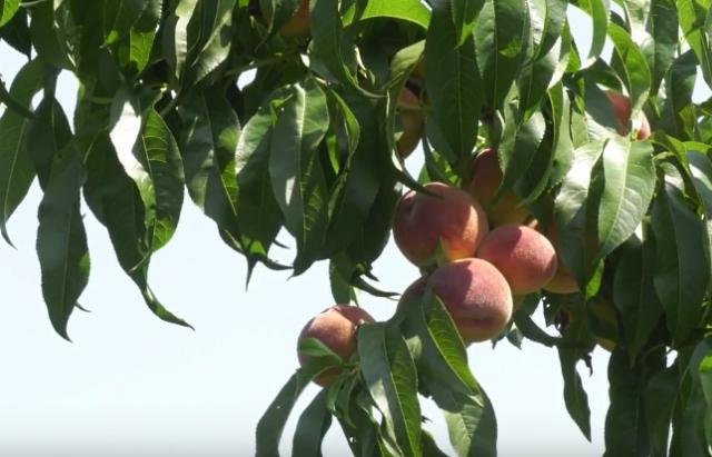 На Берегівщині почали збирати рекордні врожаї соковитих персиків