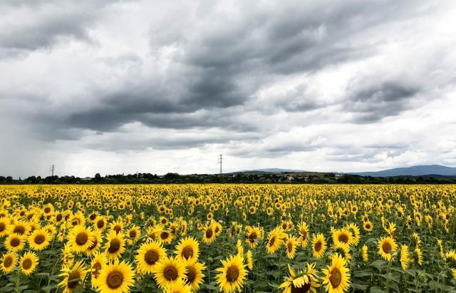 Ідеальна фотозона: на Закарпатті  цвіте поле соняшників (ФОТО, ВІДЕО)