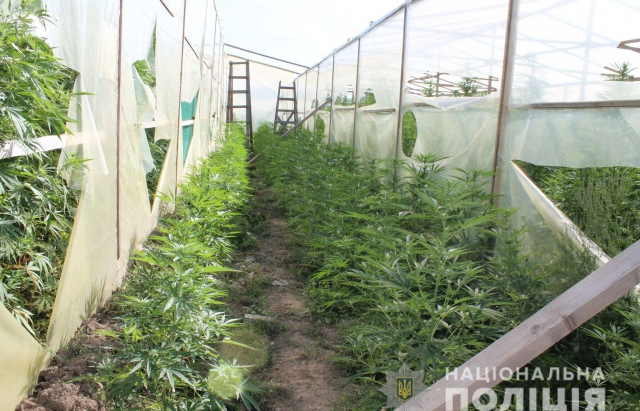 На Мукачівщині виявили плантацію марихуани на 10 мільйонів гривень (ФОТО, ВІДЕО)