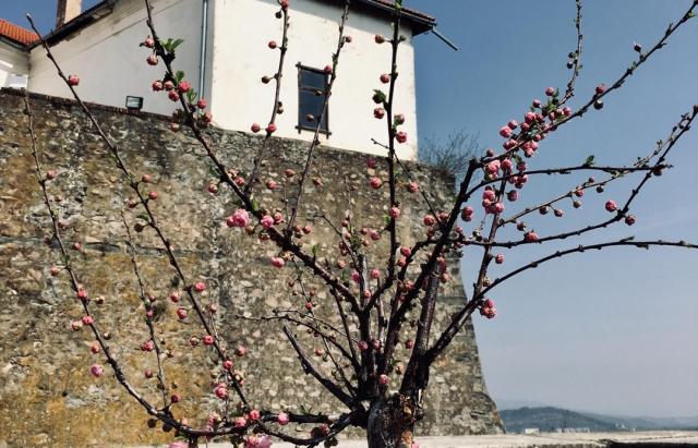 """Фото дня: Замок """"Паланок"""" зустрічає туристів квітом мигдалевого дерева (ФОТО)"""