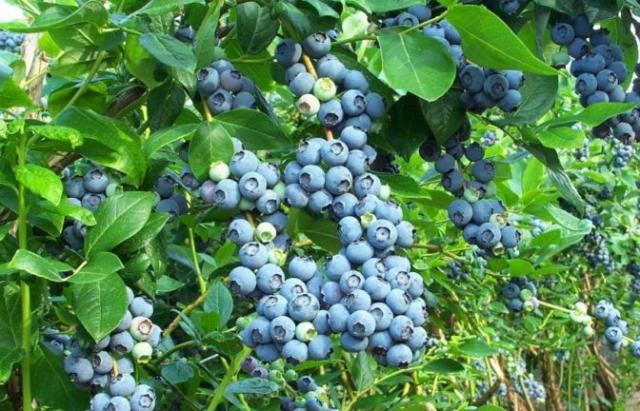 На Мукачівщині вирощують унікальний сорт чорниці