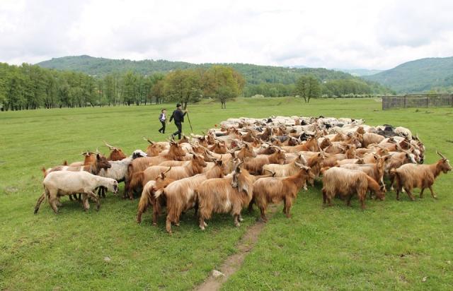 На Закарпатті провели перші перегони овець (ВІДЕО)