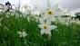 Фото дня: На Хустщині розквітла Долина нарцисів (ФОТО)
