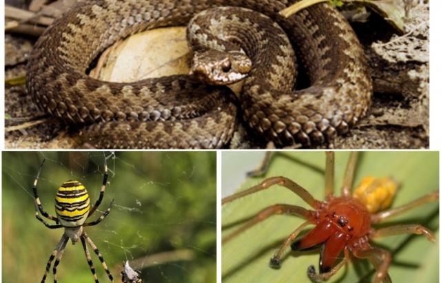 Отруйні змії та павуки Закарпаття: кого варто остерігатися (ФОТО)