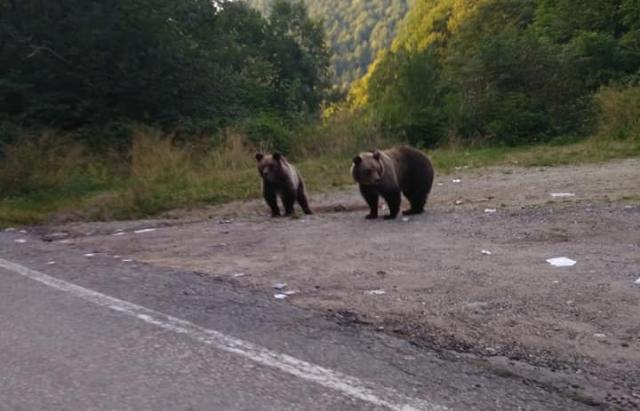 Фото дня: ведмеді в Карпатах розгулюють посеред дороги
