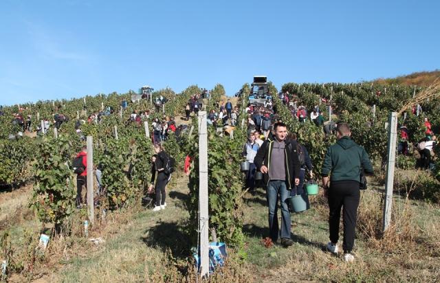 В обмін на вино: у Берегові студенти з викладачами під музику збирали врожай винограду (ФОТО)
