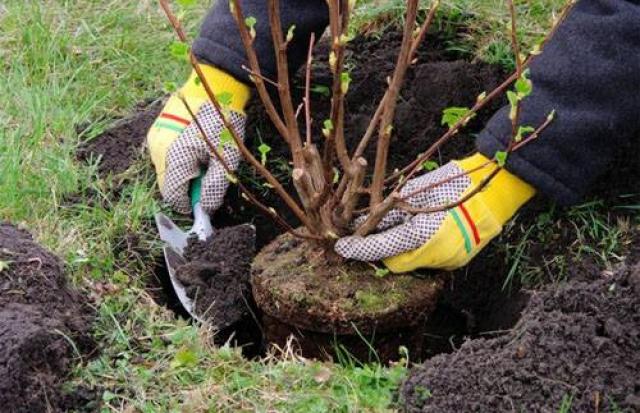 Мукачівців запрошують разом посадити дерева у місті