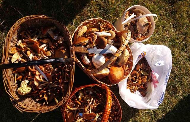 Закарпаття заполонили осінні гриби (ФОТО, ВІДЕО)
