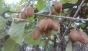 Екзотичне Закарпаття: В Ужгороді зібрали врожай ківі (ФОТО)