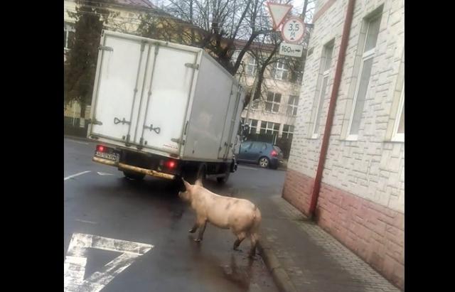 Курйоз дня: в Мукачеві посеред міста гуляла свиня (ВІДЕО)