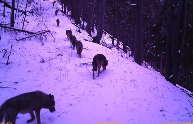У горах блукають зграї вовків