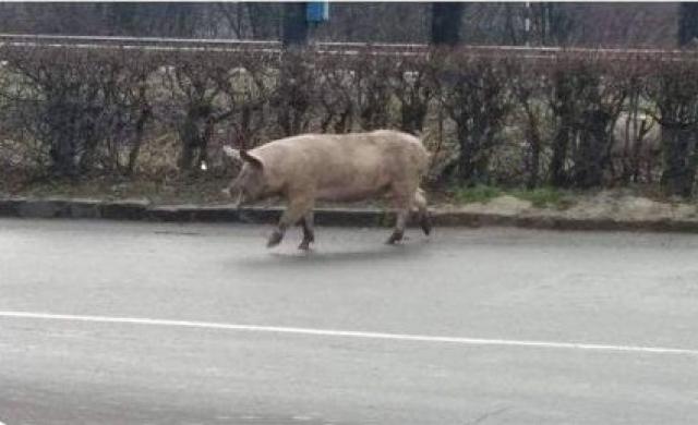 Курйоз дня: В Мукачеві посеред дороги гуляють поросятка (ФОТОФАКТ)
